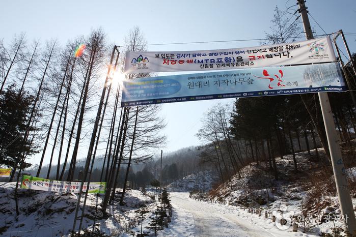 Wondae-ri Birch Forest (원대리 자작나무 숲)