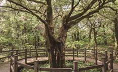 濟州榧子林 (제주비자림)
