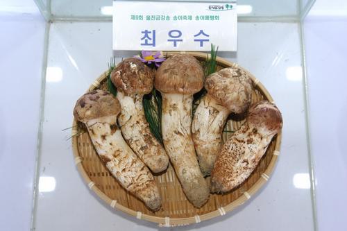 Uljin Geumgang Songi Mushroom Festival (울진금강송송이축제)