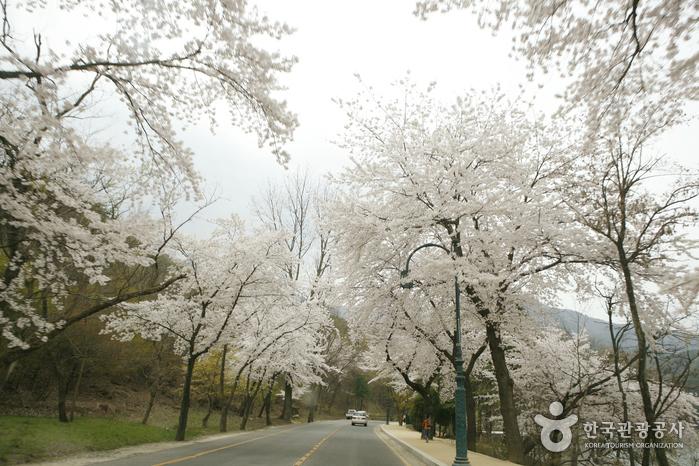 흰 꽃눈 사이로 '4월의 크리스마스' 구미 금오산 벚꽃길
