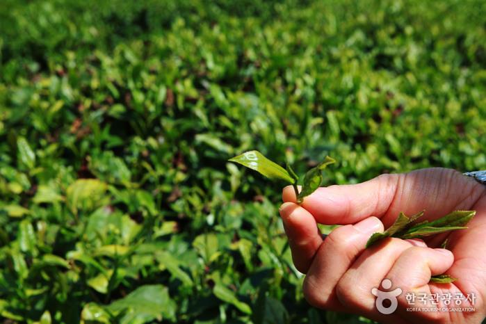 茶향기 가득한 하동 야생차문화축제, 봄꽃 다음 일렁이는 초록 물결, '왕의 녹차'의 유혹