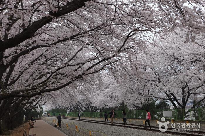 벚꽃 날리는 봄날의 진해에서 보내는 연서