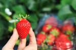 杨平草莓体验节(양평딸기체험축제) 이미지