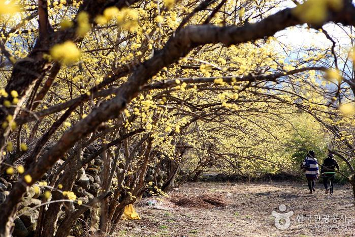 노오란 꽃멀미, 아찔한 봄날 '구례 산수유꽃축제'