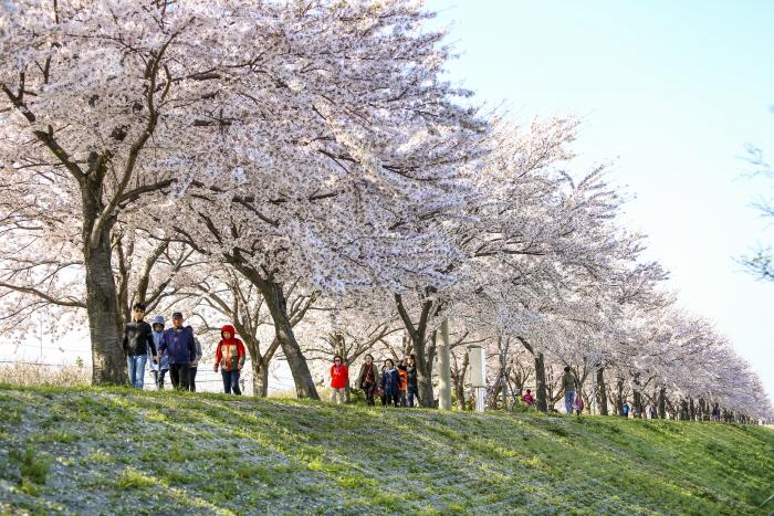 강서 낙동강변30리 벚꽃 축제 2018