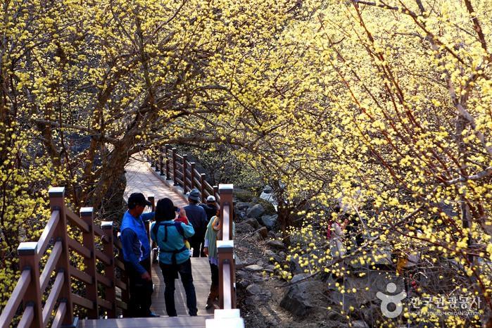 求礼山茱萸花祭り(구례산수유꽃축제)