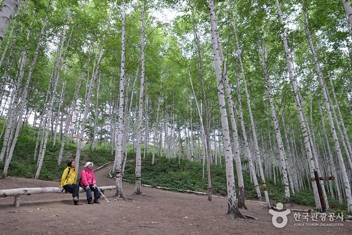 麟蹄院垈里白樺林(인제 원대리 자작나무 숲)3
