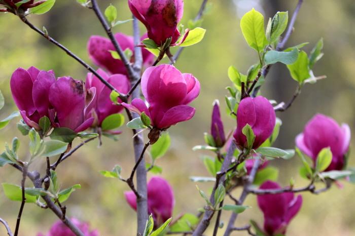 태안 천리포수목원 목련축제 2019