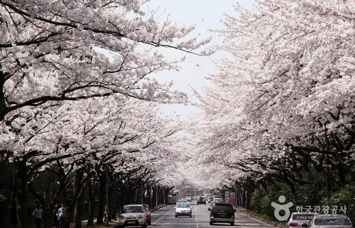 가장 먼저 맞이하는 봄날의 하이라이트 '제주 벚꽃 명소'