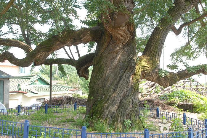 세종리 은행나무 (구, 양화리 은행나무)