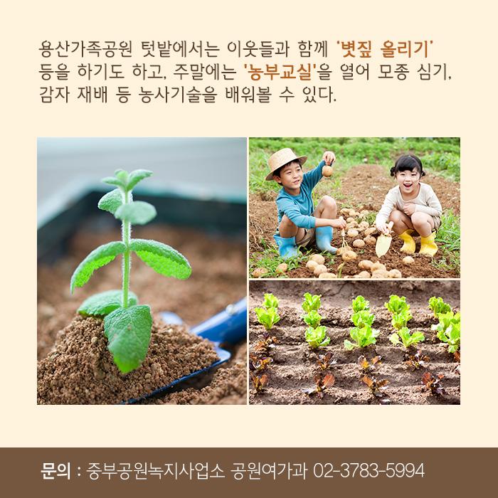 용산가족공원 텃밭에서는 이웃들과 함께 '볏짚 올리기' 등을 하기도 하고, 주말에는 '농부교실'을 열어 모종 심기, 감자 재배 등 농사기술을 배워볼 수 있다.