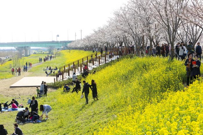 江西 洛東江辺三十里桜祭り(강서 낙동강변30리 벚꽃 축제)