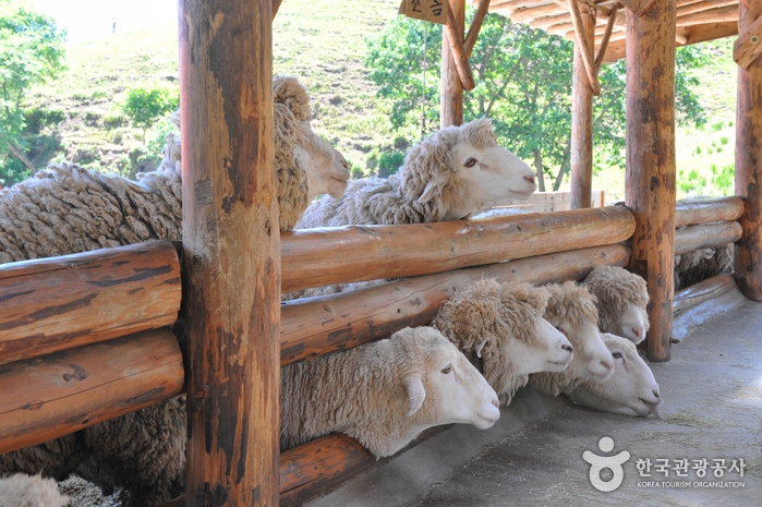 Daegwallyeong Sheep Farm ( )