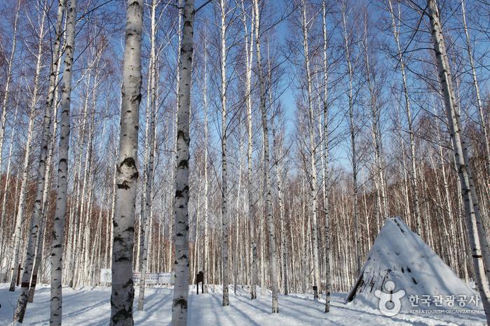 麟蹄院垈里白樺林(인제 원대리 자작나무 숲)15