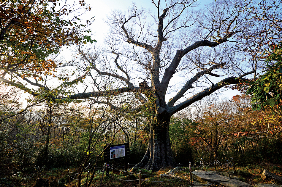 두륜산 만일암 터의 천년수. 천년수라지만 실제로 수령 1200년이 훨씬 넘은 나무다