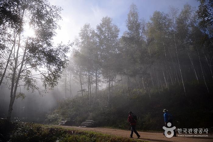 인제 원대리 자작나무 숲 사진16