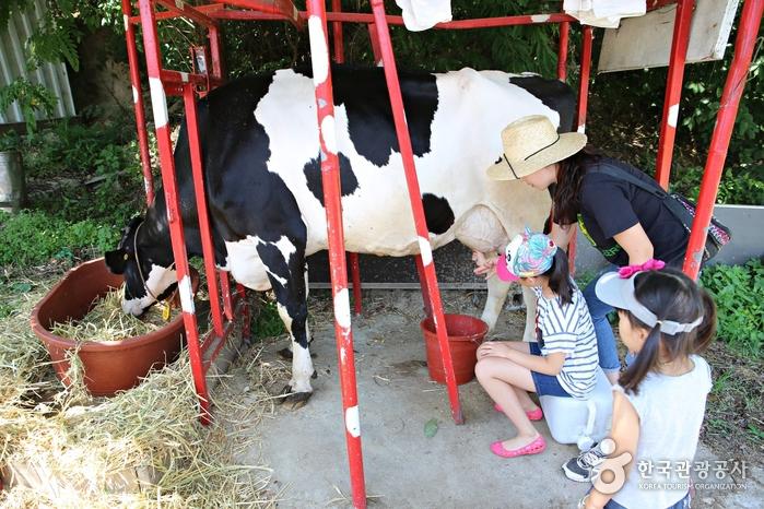 신기하고 재미난 소젖 짜기 체험