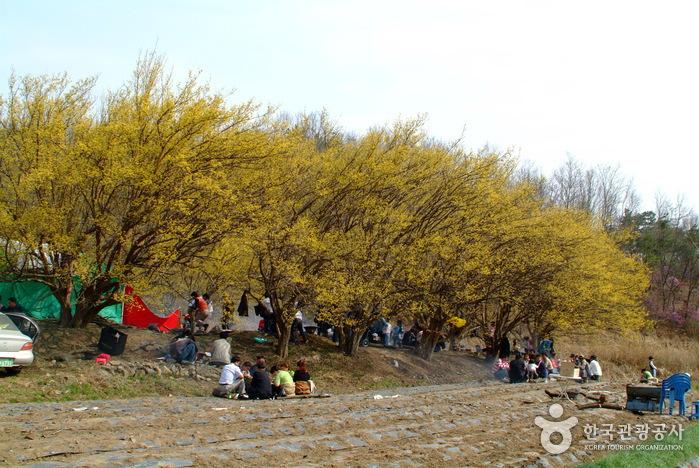 楊平 山茱萸村(양평 산수유마을)