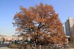 서울 신림동 굴참나무