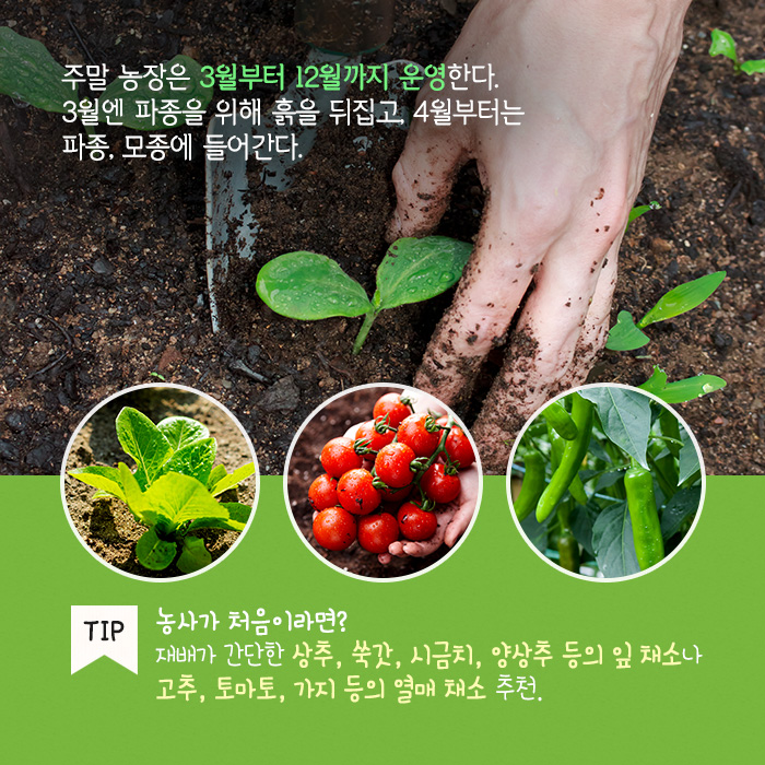 주말 농장은 3월부터 12월까지 운영한다. 3월엔 파종을 위해 흙을 뒤집고, 4월부터는 파종, 모종에 들어간다. TIP 농사가 처음이라면? 재배가 간단한 상추, 쑥갓, 시금치, 양상추 등의 잎 채소나 고추, 토마토, 가지 등의 열매 채소 추천.