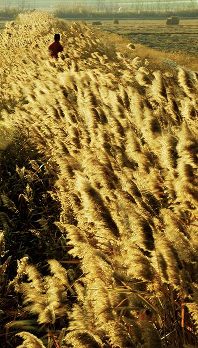 해남 고천암호의 갈대숲. 갈대는 저무는 늦가을을 가장 화려하게 치장한다