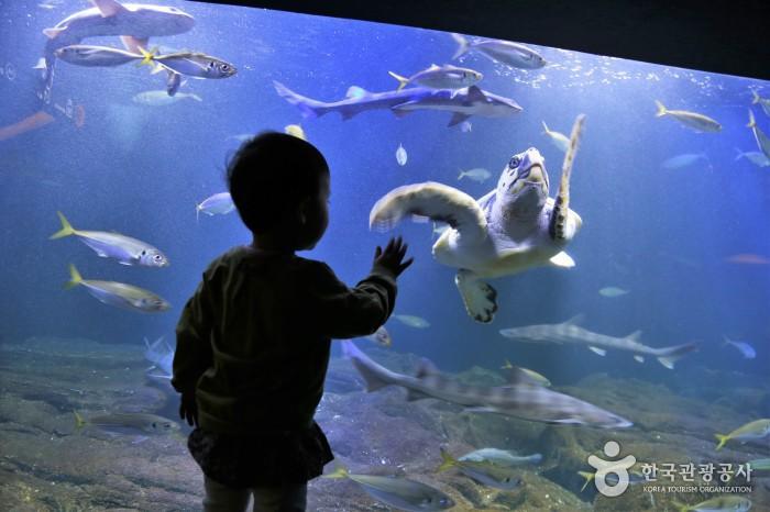대형수족관- 어린아이가 수족관 안에서 헤엄치는 물고기와 거북이를 구경하고있다.