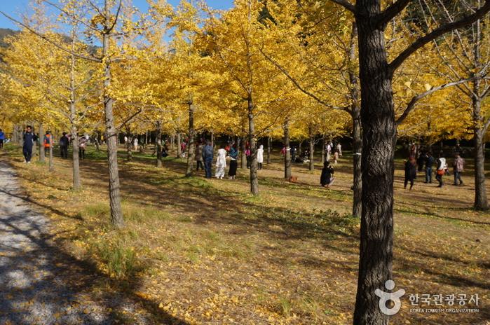 Hongcheon Ginkgo Forest (홍천 은행나무숲)