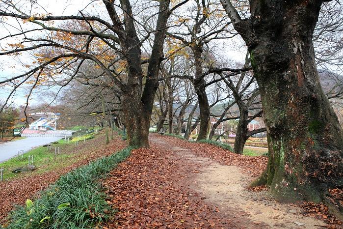 수령 오래된 소나무가 만든 숲길