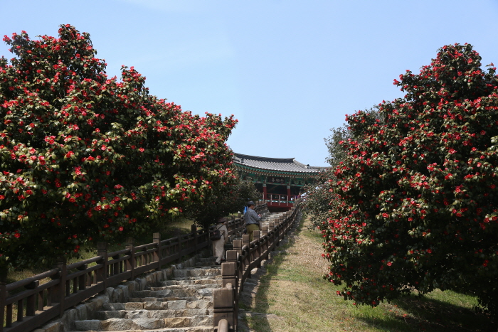 Kamelienwald in Maryang-ri, Seocheon (서천 마량리 동백나무 숲)