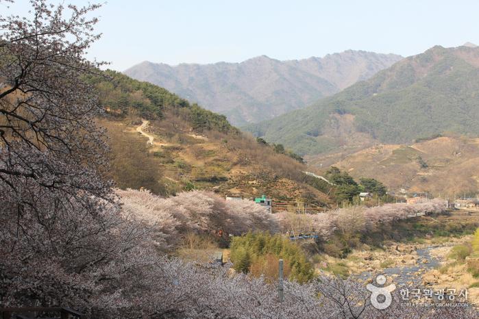Route des cerisiers en fleurs de dix lis...