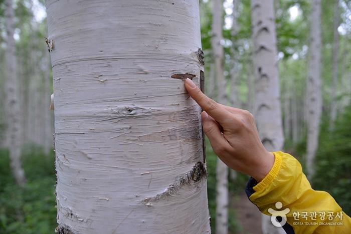 麟蹄院垈里白樺林(인제 원대리 자작나무 숲)9