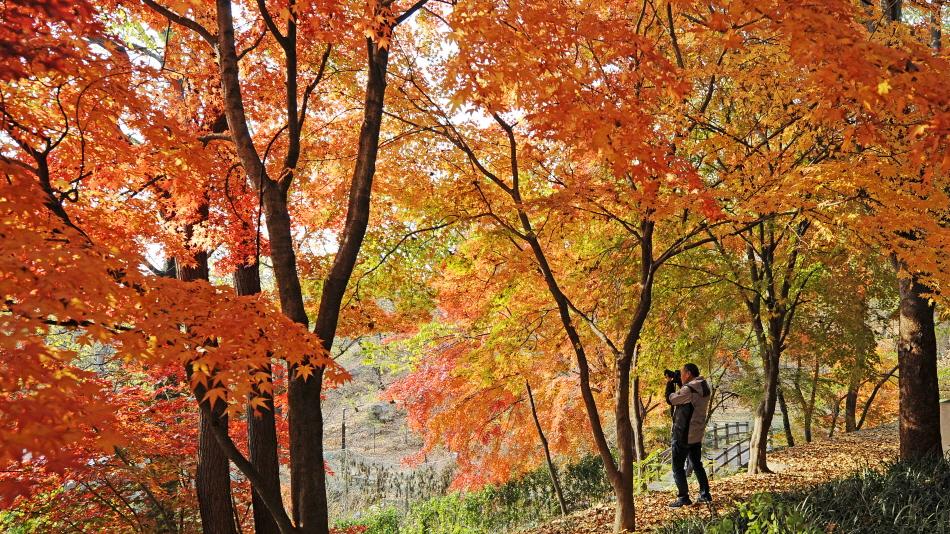 단풍이 붉게 물든 아차산 _사진 제공 광진구청