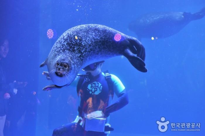 물범수족관 - 물속의 조련사의 손짓에 따라 움직이고 있는 물범