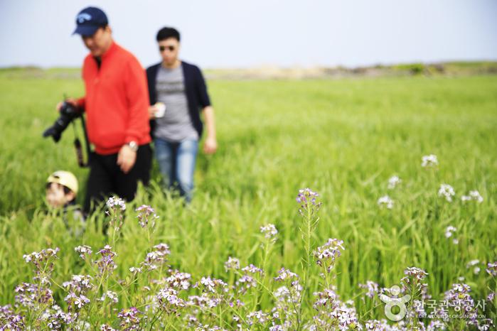 청보리밭을 즐기는 여행자들