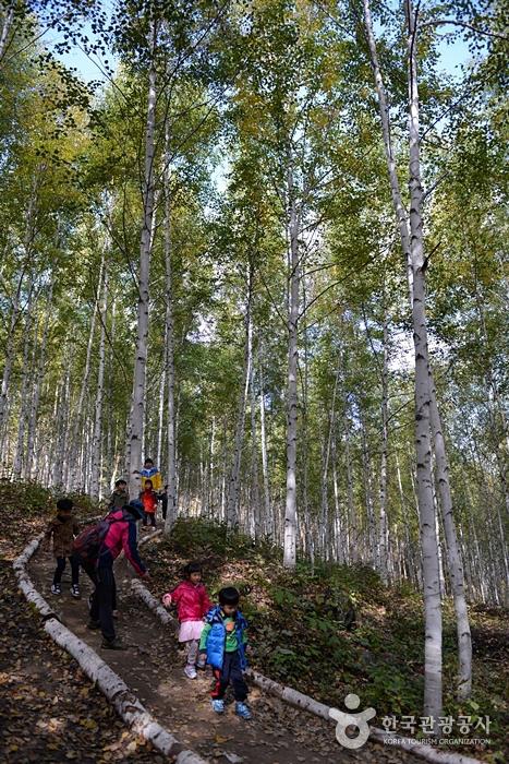 麟蹄院垈里白樺林(인제 원대리 자작나무 숲)10