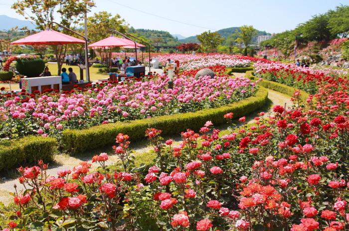 三陟バラ祭り(삼척 장미축제)
