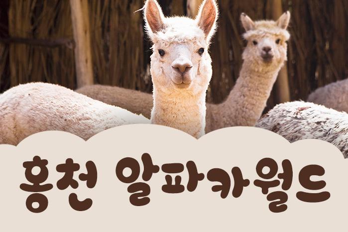 [여행 카드] 세상 제일 귀여운 알파카, 인정? 어, 인정! 홍천 알파카월드 사진