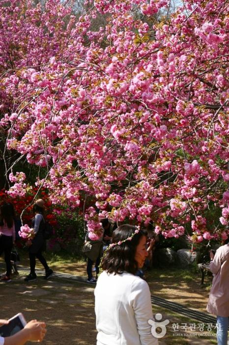 꽃잎이 여러 겹 겹쳐 있는 겹벚꽃 아래 여자가 지가나고 있다
