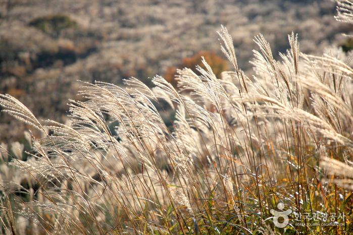 가을 감성 자극하는 억새꽃