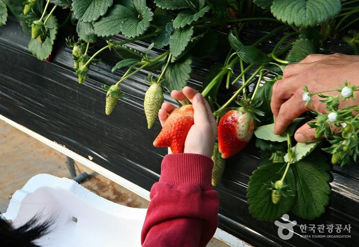 손바닥으로 '킹스베리' 딸기를 살짝 쥐고 줄기를 비틀면서 똑 떼어낸다.
