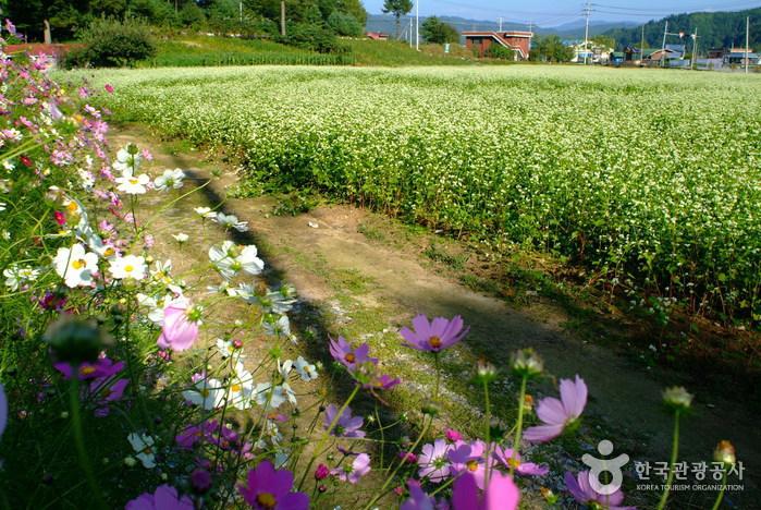 봉평 가을 메밀꽃밭