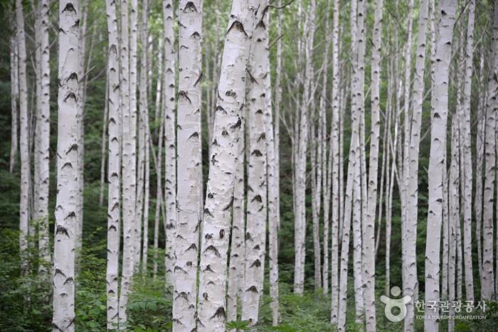 麟蹄院垈里白樺林(인제 원대리 자작나무 숲)6