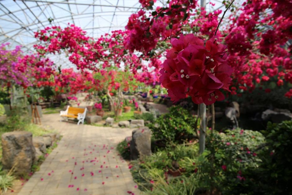 제주 한림공원 부겐빌레아 축제