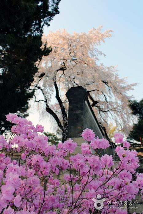 성정각 일원에서 바라본 창덕궁 능수벚나무