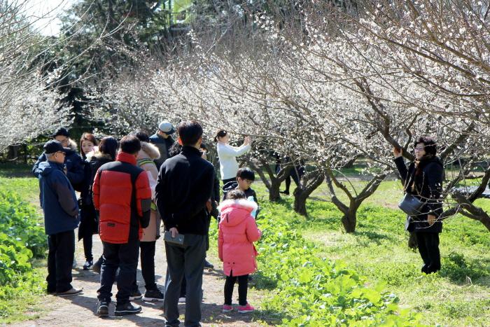 休愛里梅祭り(휴애리 매화축제)