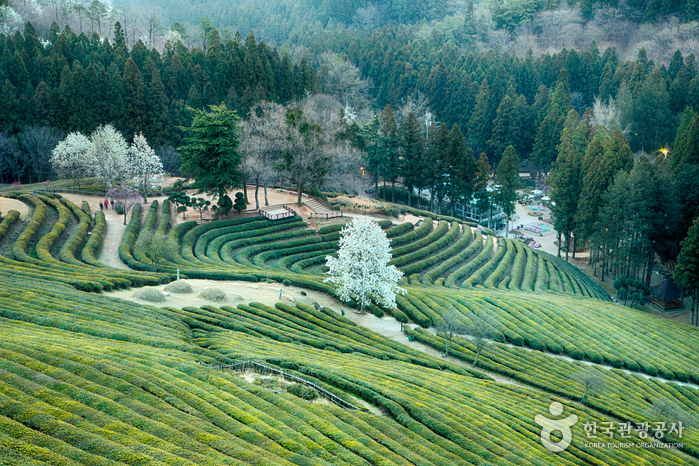 Daehan Dawon Tea Plantation (대한다원)