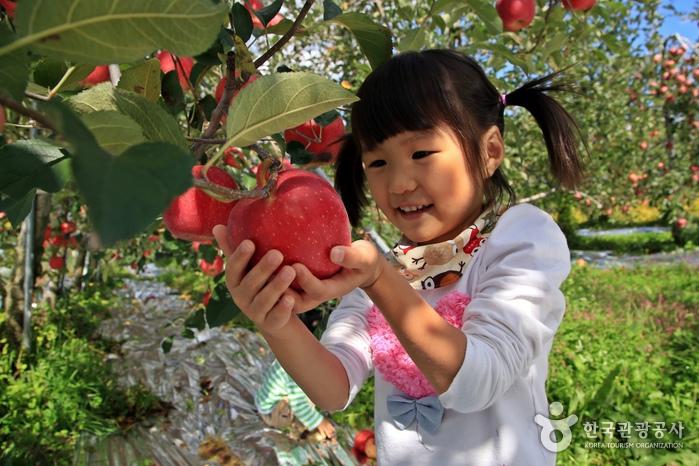 가을이 선물한 붉은 보석을 탐하다, 문경 사과체험