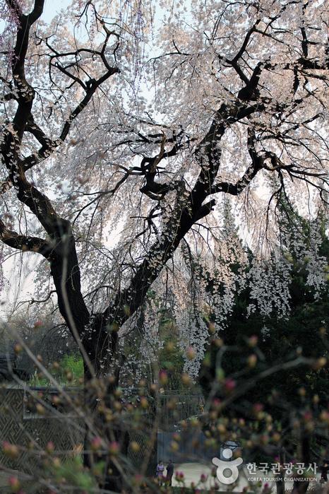낙선재 쪽 언덕 아래에서 바라본 능수벚나무와 승화루 담장