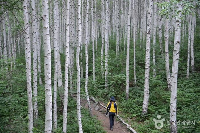 인제 원대리 자작나무 숲 사진6