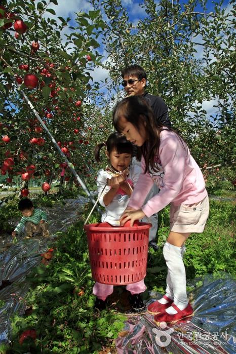 사과 따기는 어른 아이 할 것 없이 모두에게 재미있는 체험